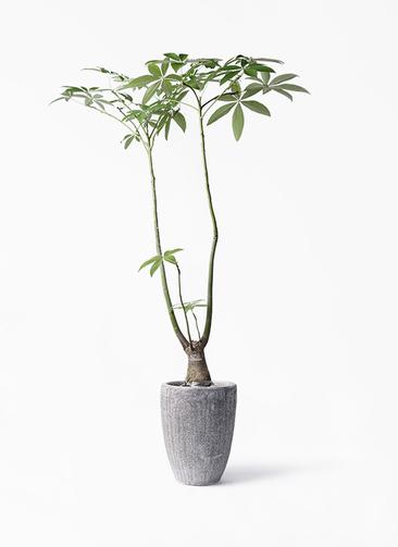 観葉植物 パキラ 8号 パラソル アビスソニア トール 灰 付き