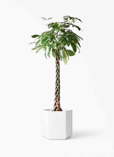 観葉植物 パキラ 10号 ねじり コーテス ヘックス ホワイトテラゾ 付き