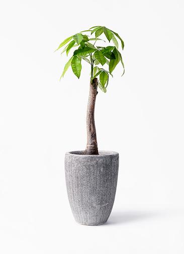 観葉植物 パキラ 8号 朴 アビスソニア トール 灰 付き