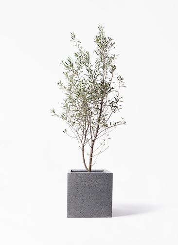 観葉植物 オリーブの木 10号 チプレッシーノ キューブ ラテルストーン 付き