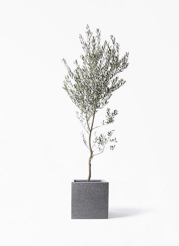 観葉植物 オリーブの木 10号 創樹 キューブ ラテルストーン 付き