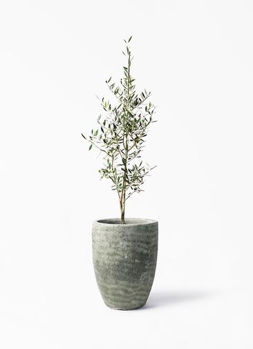 観葉植物 オリーブの木 8号 コロネイキ アビスソニア トール 緑 付き