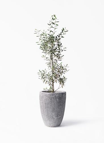 観葉植物 オリーブの木 8号 チプレッシーノ アビスソニア トール 灰 付き