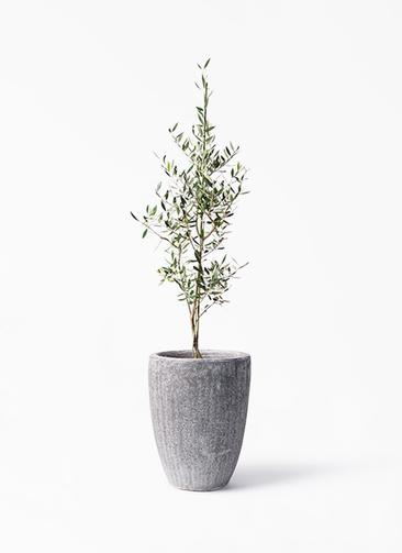 観葉植物 オリーブの木 8号 コロネイキ アビスソニア トール 灰 付き