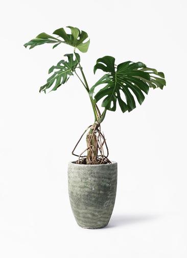 観葉植物 モンステラ 8号 根上り アビスソニア トール 緑 付き
