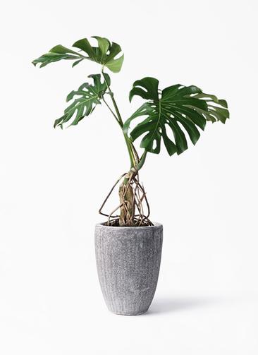 観葉植物 モンステラ 8号 根上り アビスソニア トール 灰 付き