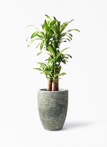観葉植物 ドラセナ 幸福の木 8号 ノーマル アビスソニア トール 緑 付き