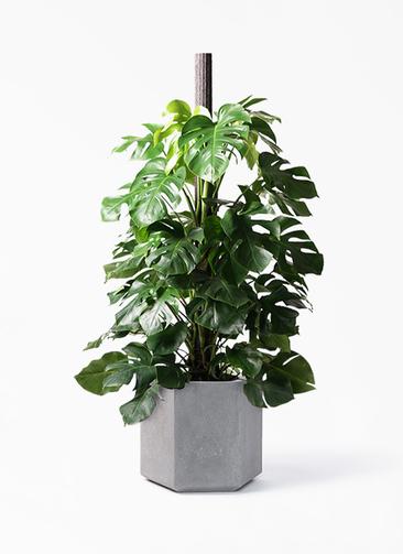 観葉植物 モンステラ 10号 ヘゴ柱 コーテス ヘックス 灰 付き
