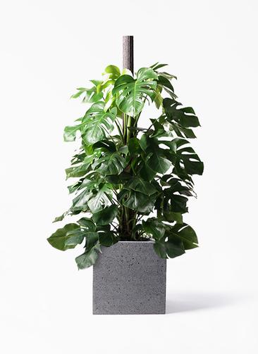 観葉植物 モンステラ 10号 ヘゴ柱 キューブ ラテルストーン 付き