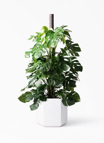 観葉植物 モンステラ 10号 ヘゴ柱 コーテス ヘックス ホワイトテラゾ 付き