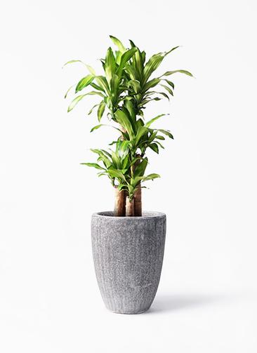 観葉植物 ドラセナ 幸福の木 8号 ノーマル アビスソニア トール 灰 付き