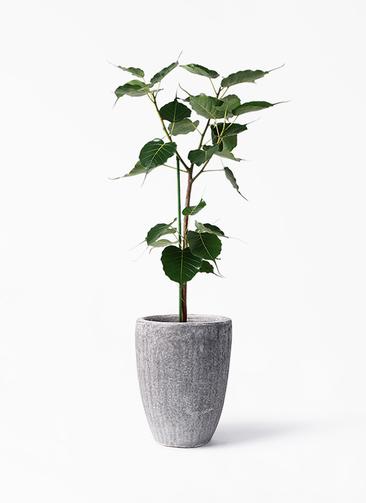 観葉植物 インドボダイジュ 8号 アビスソニア トール 灰 付き