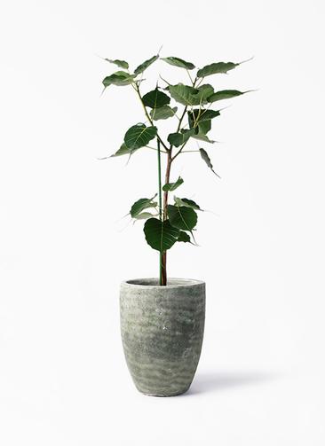 観葉植物 インドボダイジュ 8号 アビスソニア トール 緑 付き