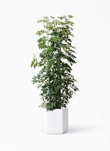 観葉植物 カポック(シェフレラ) 10号 ノーマル コーテス ヘックス ホワイトテラゾ 付き
