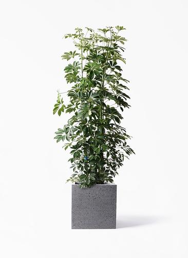 観葉植物 カポック(シェフレラ) 10号 ノーマル キューブ ラテルストーン 付き