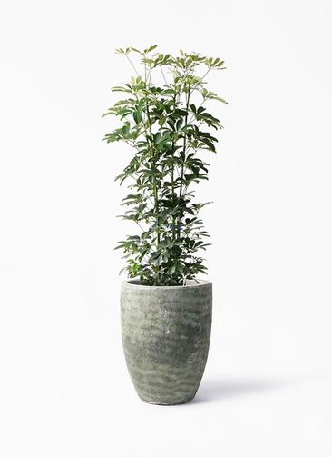 観葉植物 カポック(シェフレラ) 8号 ノーマル アビスソニア トール 緑 付き