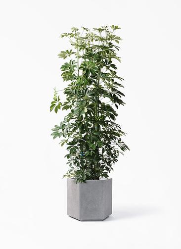 観葉植物 カポック(シェフレラ) 10号 ノーマル コーテス ヘックス 灰 付き