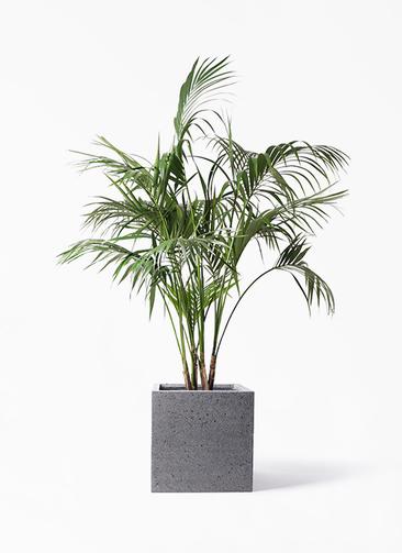 観葉植物 ケンチャヤシ 10号 キューブ ラテルストーン 付き