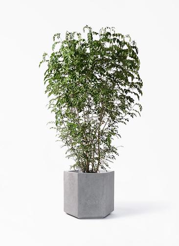 観葉植物 シマトネリコ 10号 コーテス ヘックス 灰 付き
