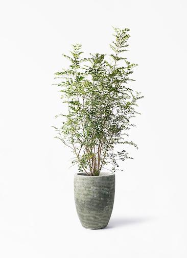 観葉植物 シマトネリコ 8号 アビスソニア トール 緑 付き