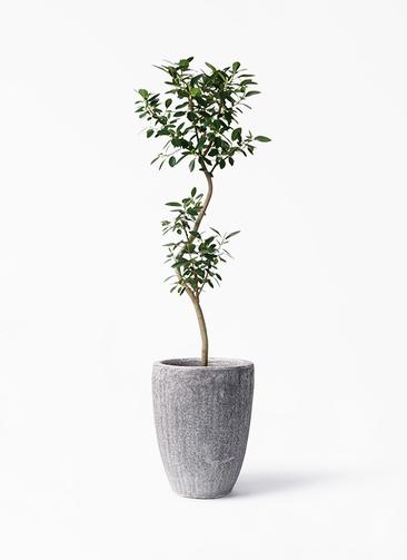 観葉植物 フランスゴムの木 8号 曲り アビスソニア トール 灰 付き