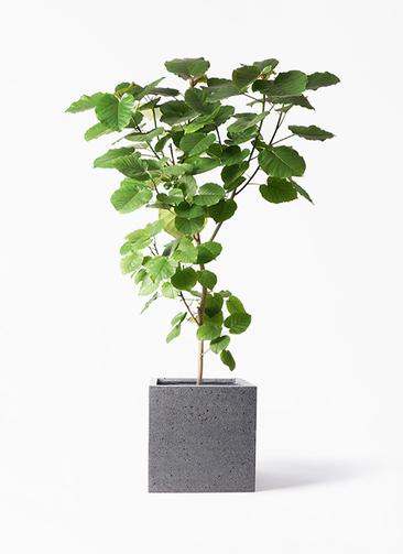 観葉植物 フィカス ウンベラータ 10号 ノーマル キューブ ラテルストーン 付き