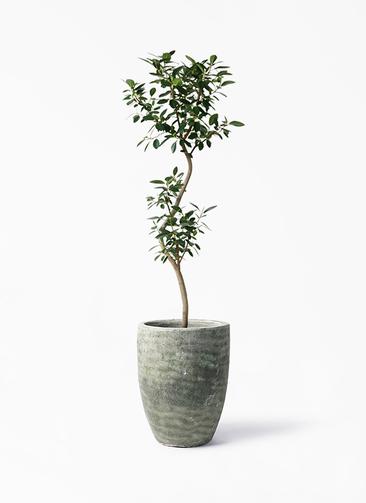 観葉植物 フランスゴムの木 8号 曲り アビスソニア トール 緑 付き