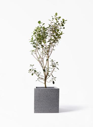 観葉植物 フランスゴムの木 10号 ノーマル キューブ ラテルストーン 付き