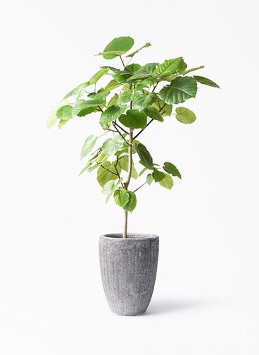 観葉植物 フィカス ウンベラータ 8号 ノーマル アビスソニア トール 灰 付き