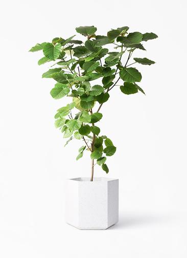観葉植物 フィカス ウンベラータ 10号 ノーマル コーテス ヘックス ホワイトテラゾ 付き
