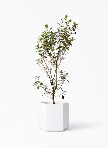 観葉植物 フランスゴムの木 10号 ノーマル コーテス ヘックス ホワイトテラゾ 付き
