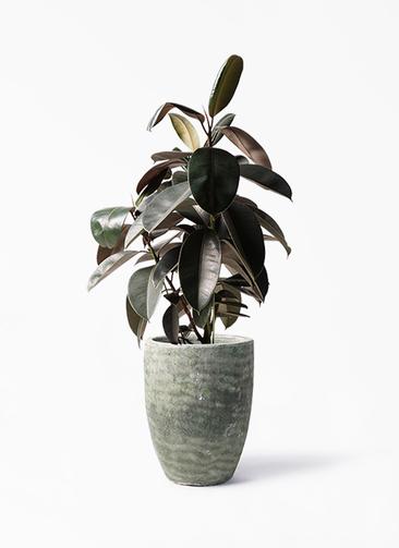 観葉植物 フィカス バーガンディ 8号 ノーマル アビスソニア トール 緑 付き
