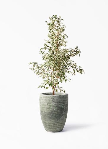 観葉植物 フィカス ベンジャミン 8号 スターライト アビスソニア トール 緑 付き