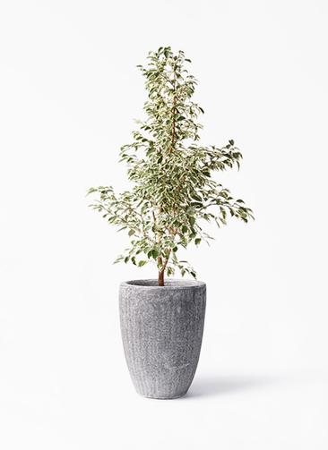 観葉植物 フィカス ベンジャミン 8号 スターライト アビスソニア トール 灰 付き