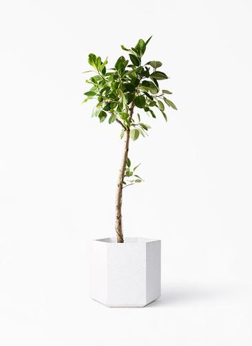 観葉植物 フィカス アルテシーマ 10号 ストレート コーテス ヘックス ホワイトテラゾ 付き