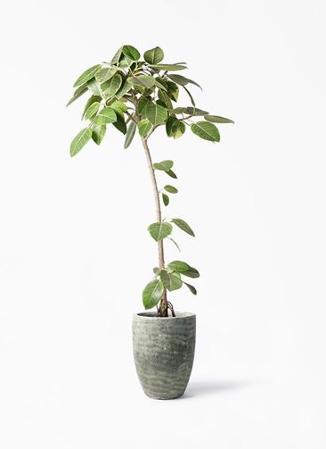観葉植物 フィカス アルテシーマ 8号 ストレート アビスソニア トール 緑 付き