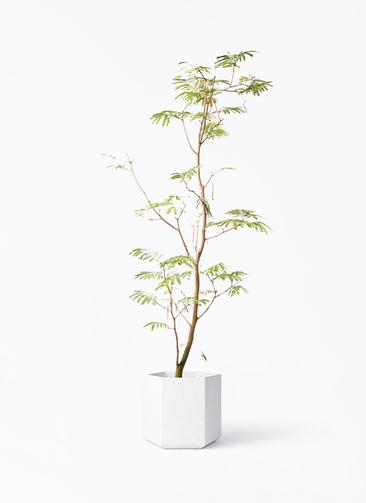 観葉植物 エバーフレッシュ 10号 ボサ造り コーテス ヘックス ホワイトテラゾ 付き