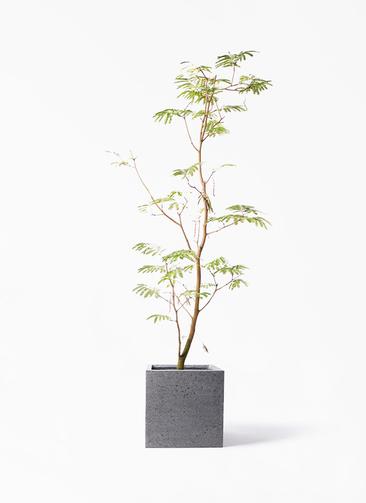 観葉植物 エバーフレッシュ 10号 ボサ造り キューブ ラテルストーン 付き