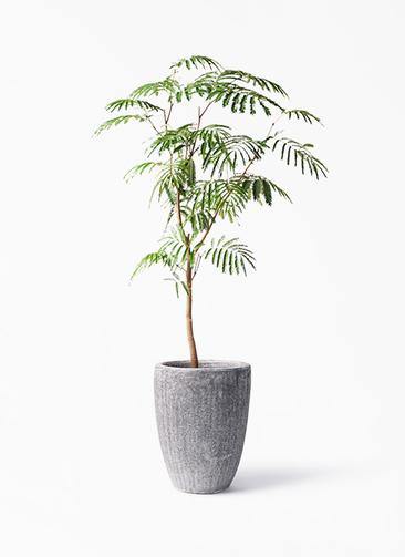 観葉植物 エバーフレッシュ 8号 ボサ造り アビスソニア トール 灰 付き