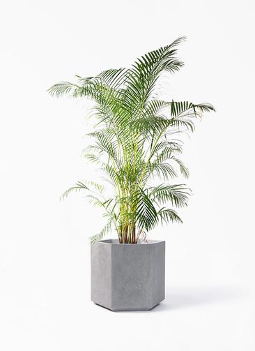観葉植物 アレカヤシ 10号 コーテス ヘックス 灰 付き