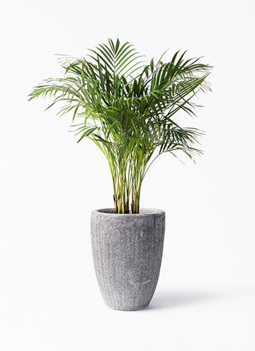 観葉植物 アレカヤシ 8号 アビスソニア トール 灰 付き
