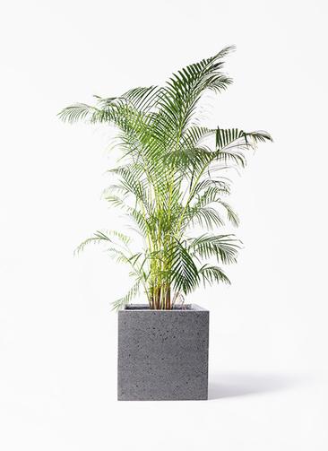 観葉植物 アレカヤシ 10号 キューブ ラテルストーン 付き