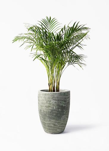 観葉植物 アレカヤシ 8号 アビスソニア トール 緑 付き