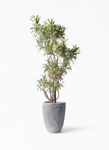 観葉植物 ドラセナ ソング オブ インディア 8号 アビスソニア トール 灰 付き