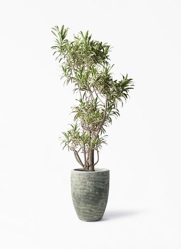 観葉植物 ドラセナ ソング オブ インディア 8号 アビスソニア トール 緑 付き