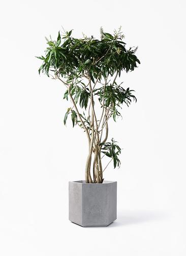 観葉植物 ドラセナ ソング オブ ジャマイカ 10号 コーテス ヘックス 灰 付き
