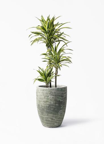 観葉植物 ドラセナ ワーネッキー レモンライム 8号 アビスソニア トール 緑 付き