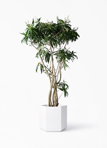 観葉植物 ドラセナ ソング オブ ジャマイカ 10号 コーテス ヘックス ホワイトテラゾ 付き