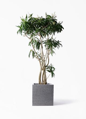 観葉植物 ドラセナ ソング オブ ジャマイカ 10号 キューブ ラテルストーン 付き