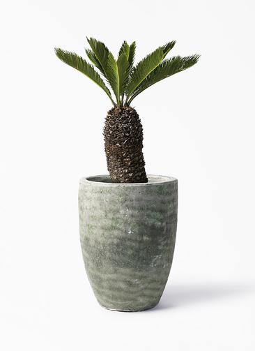 観葉植物 ソテツ 8号 アビスソニア トール 緑 付き